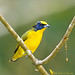 Yellow-throated euphonia - Organiste à gorge jaune - Eufonia gorguiamarilla - Euphonia hirundinacea