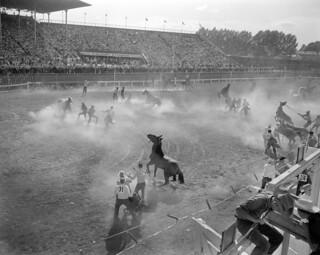 Roping and saddling horses, Calgary Stampede