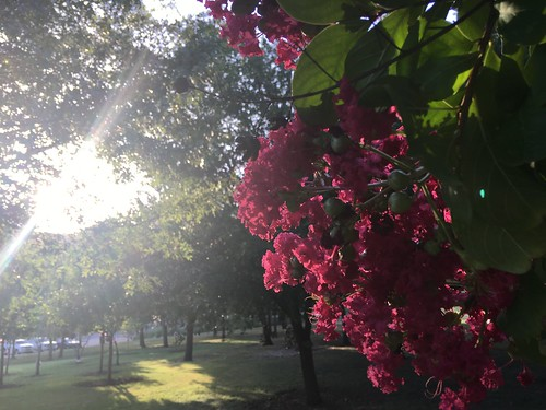 Crepe Myrtle about 45 minutes from sunset   by DanCentury