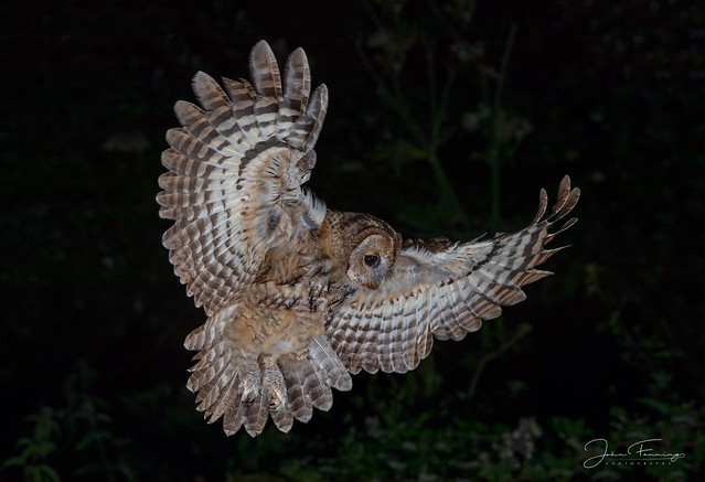 TIF - Tawny in Flight