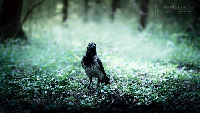Corvus Ghost