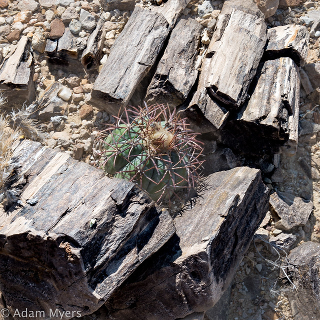 Fossilized tree and living cactus, Terlingua Ranch, June, 2018