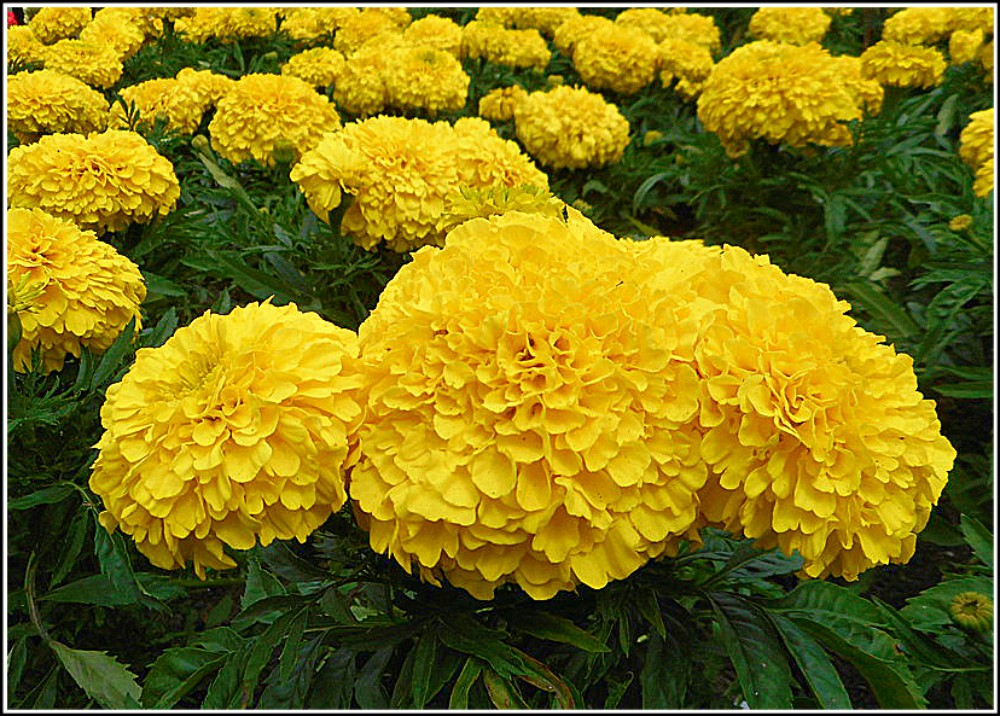 Yellow French Marigolds ...