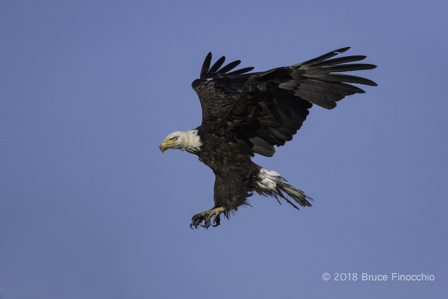 Bald Eagle In Landing Position With Talons Out And Wings Back