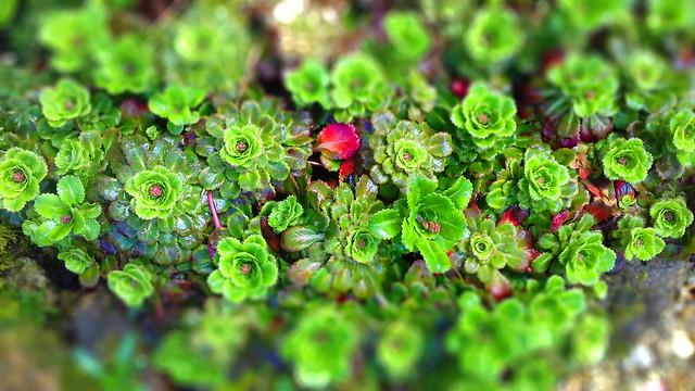 Verdure. Plante grasse in my garden.