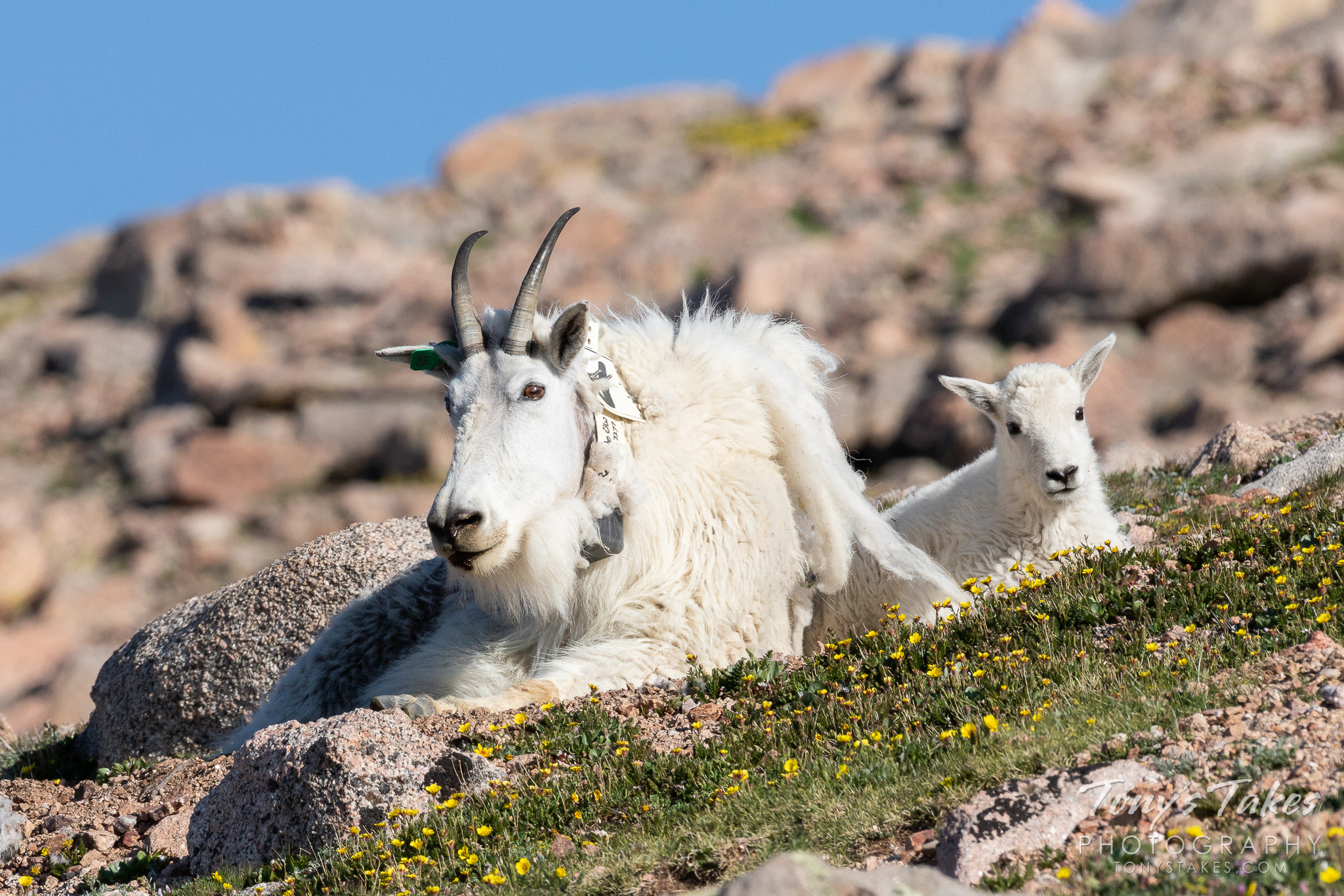 A mountain goat nanny and kid lounge on the tundra above timberline. (© Tony's Takes)
