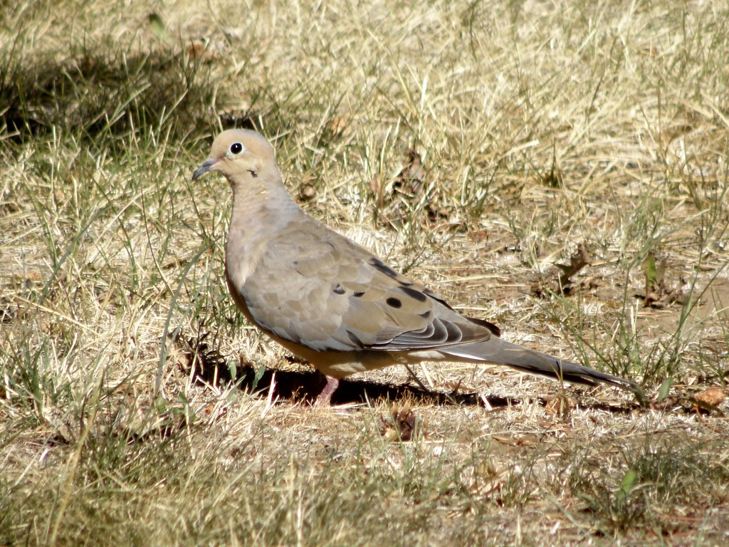 P9044675 mourning dove