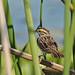Flickr photo 'Savannah Sparrow (Passerculus sandwichensis)' by: Mary Keim.