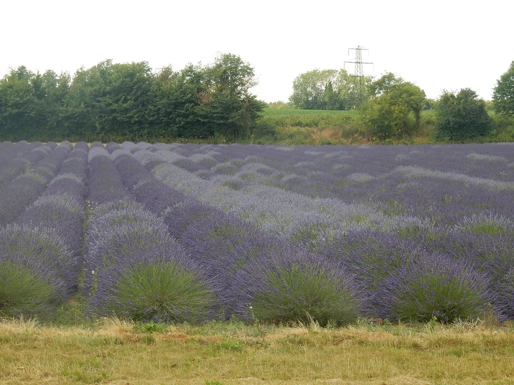 Lavender fields Shoreham figure of 8