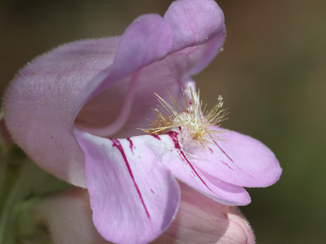 Penstemon_palmeri_6739