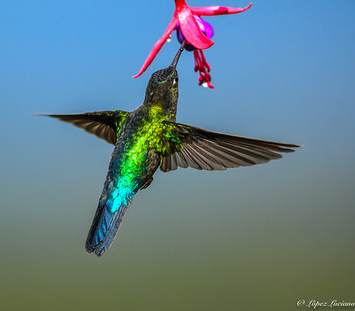 COLIBRI INSIGNE (Panterpe insignis) FIERY-THROATED HUMMINBIRD | by LOPEZ LUCIANO 6,000,000 VISITAS.GRACIAS....