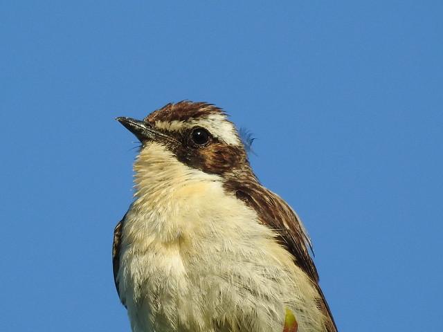 Whinchat ♂ (Saxicola rubetra)