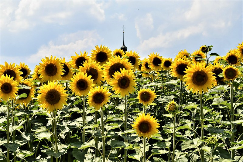 Sunflowers 30.06 (11)