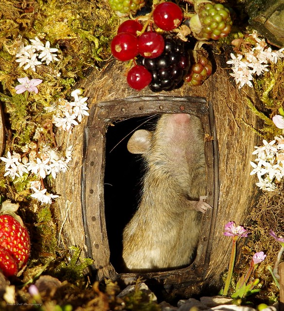 George the mouse in a log pile house standing at door (4)