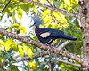Wild Southern crowned pigeon (Goura scheepmakeri) in Elevala river, Papua New Guinea.