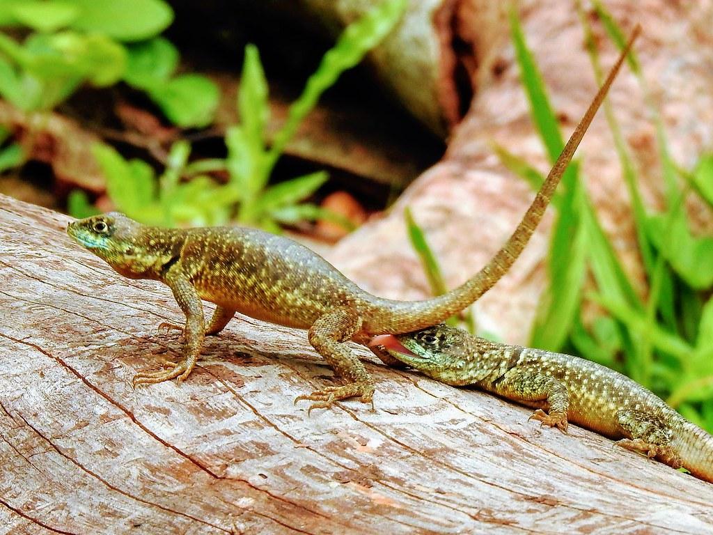 CALANGO - Tropidurus torquatus