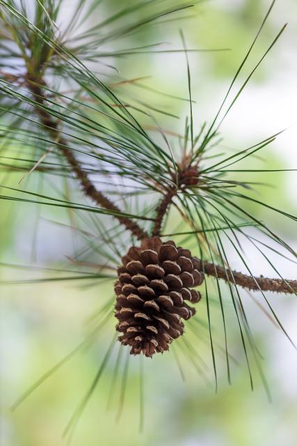Pine Cones (Cape Henlopen) 10