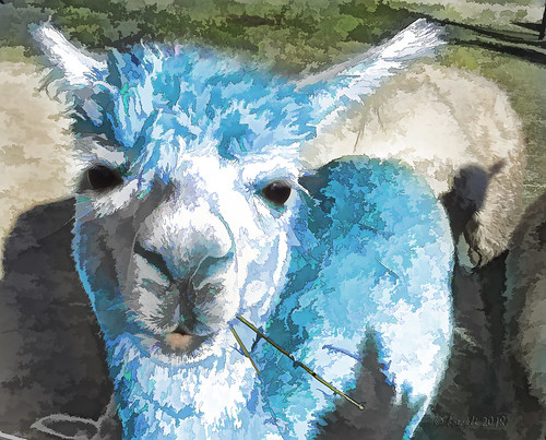 alpaca colourful colorful colours colors colour bunt blue blau fauna tier animal animals tiere textures texturen texture textur topaz topazsimplify outdoor cmwdblue awardtree