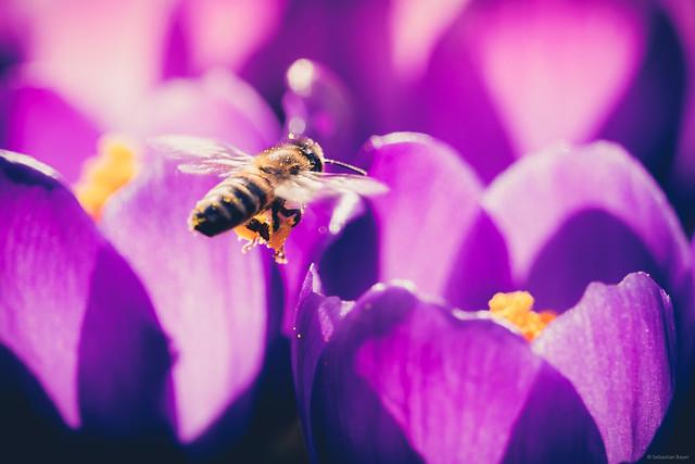 Hard Working Bee - Springtime