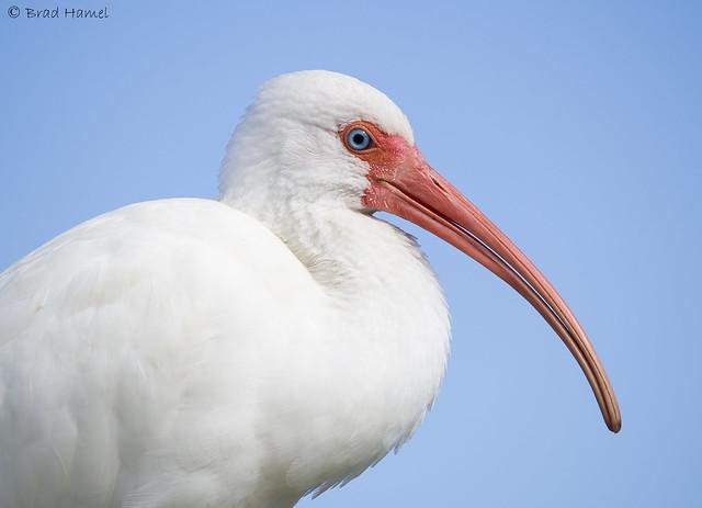 A white ibis portrait