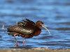 White-faced Ibis by Ceredig Roberts