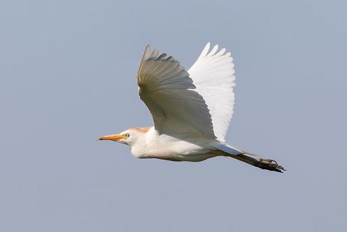 bird heron cattle egret breeding plumage catcott heath burtle somerset levels uk