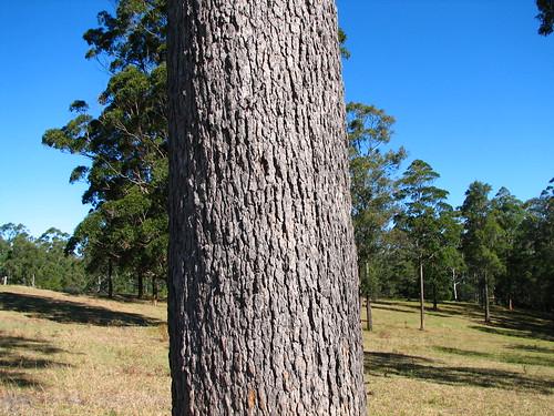 myrtaceae corymbia gummifera red bloodwood