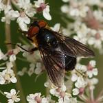 Wanzenfliege (Phasia hemiptera), Weibchen