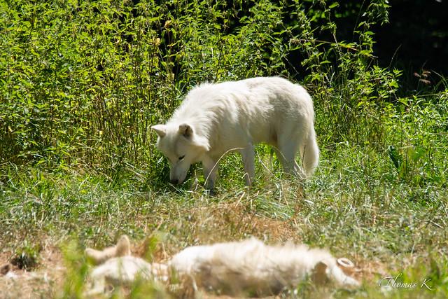 Loup blanc arctique 20