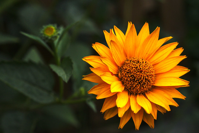 smooth oxeye