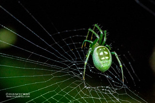 Orb weaver spider (Prasonica cf. seriata) - DSC_6725   by nickybay