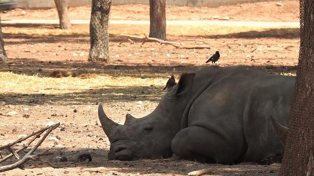 Носорог в полуденный зной