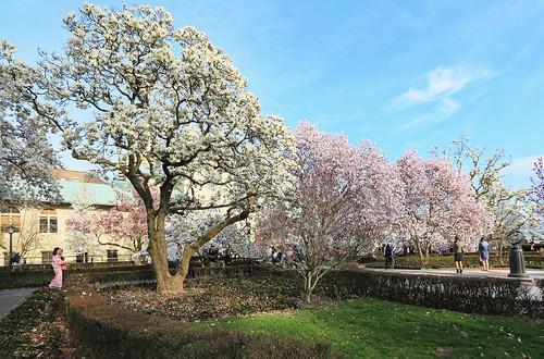 Magnolia Plaza in bloom