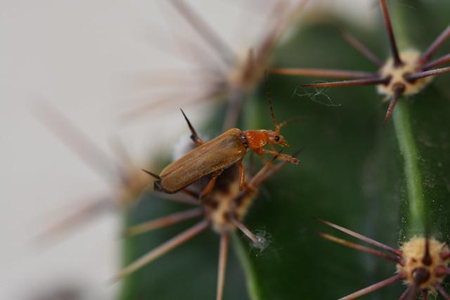 Cantharidae / Cantharis livida