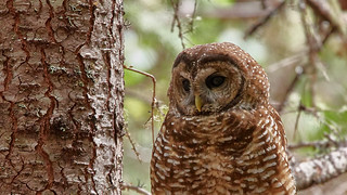 northern spotted owl | by chloesview
