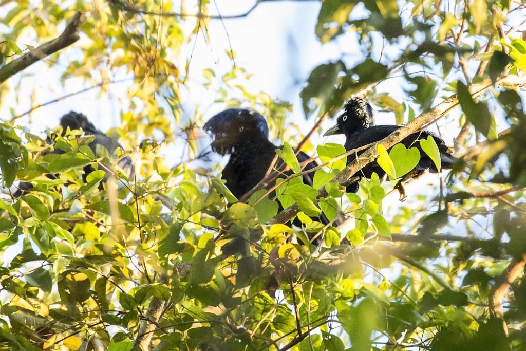 Amazonian Umbrellabird (Cephalopterus ornatus) 2 072218