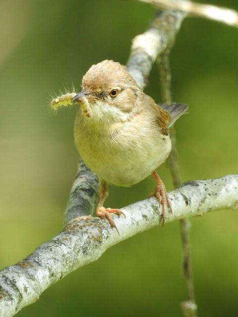 Common Whitethroat ♀ (Sylvia communis)