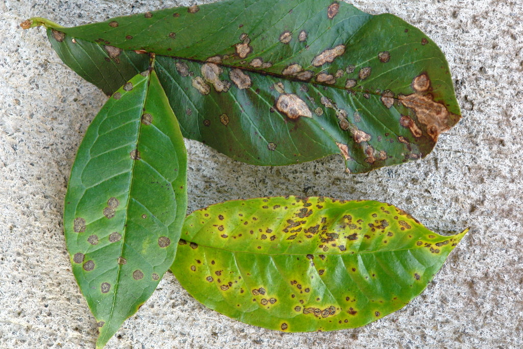 Guava Diseases With Pictures