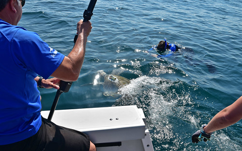 Coral, a rehabbed sea turtle, returns to the ocean