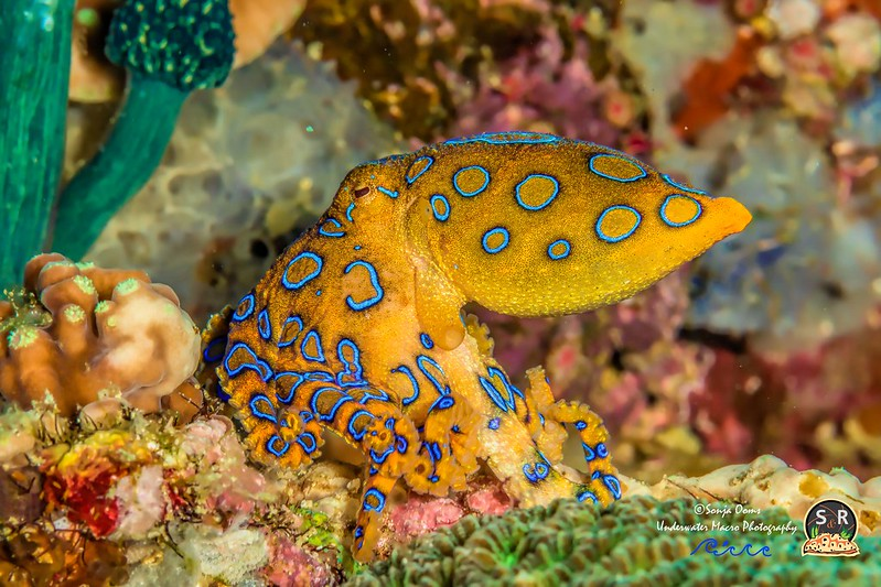 GREATER BLUE-RINGED OCTOPUS (70mm)