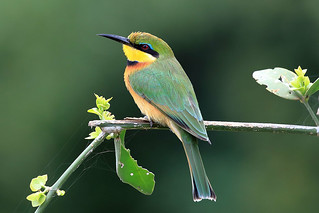 Little bee-eater | by dmmaus