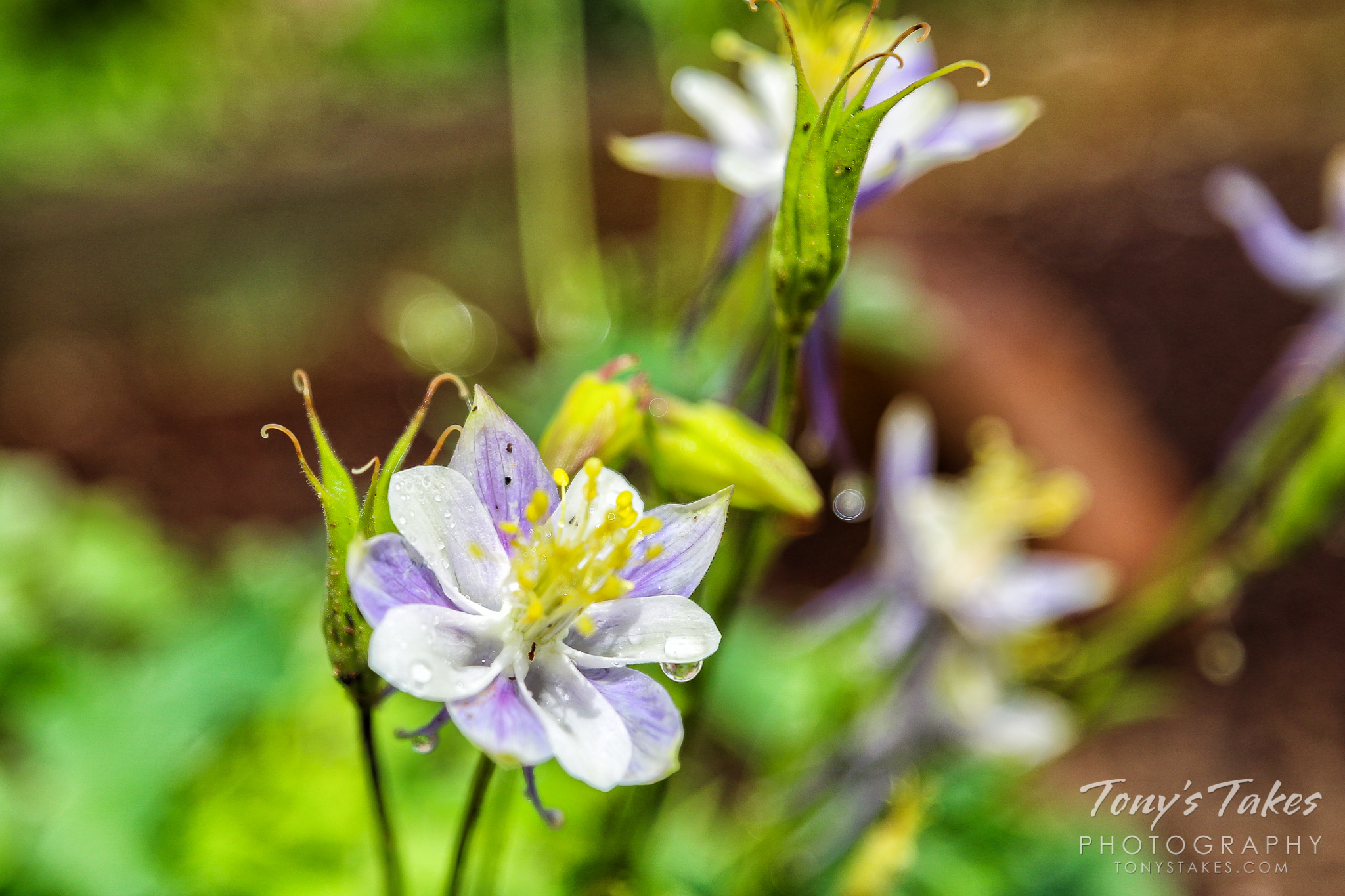 Columbine flowers following a rain in Colorado. (© Tony's Takes)
