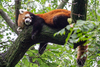 Sleeping Red Panda, Cincinnati Zoo | by daverodriguez