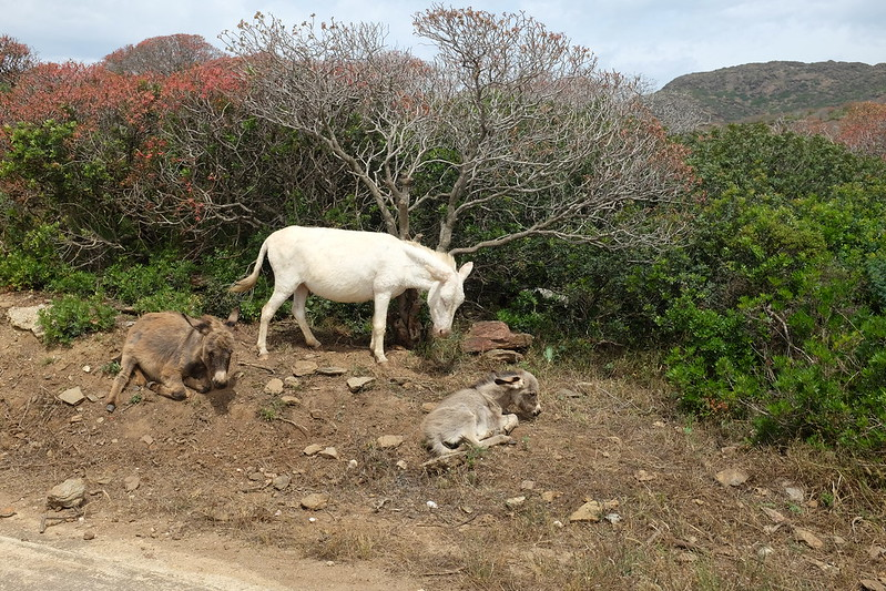 Картинки по запросу осел-альбинос с острова Асинара гуляет с закрытыми глазами