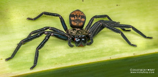 Huntsman spider (Damastes sp.) - DSC_7266 | by nickybay