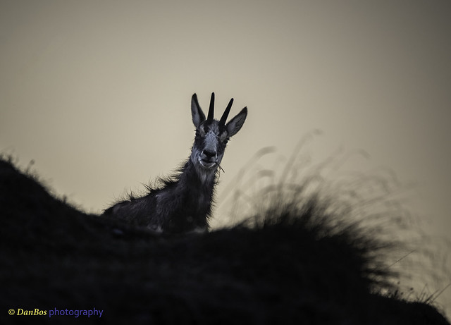 Chamois in backlight