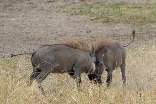 Warthogs | by Laura Jacobsen