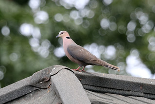 Ring-necked dove | by dmmaus