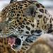 Jaguar with open mouth by Tambako the Jaguar