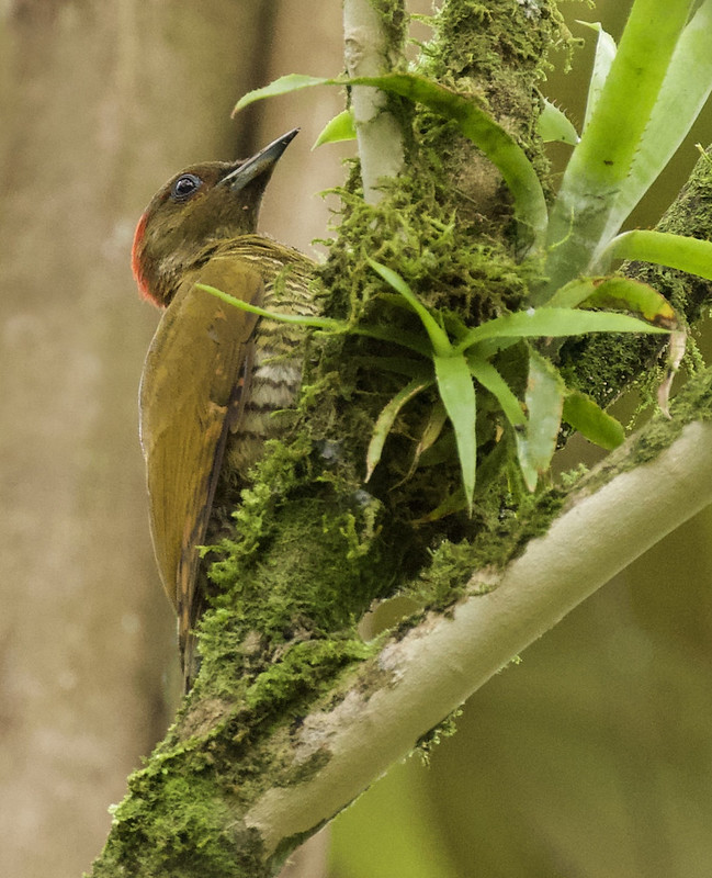Rufous-winged Woodpecker, Piculus simplex_199A6732